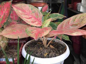 Aglaonema Panama_Best Indoor Plants For Your Home