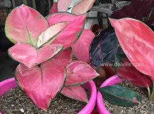 Aglaonema Siam Pink_Best Indoor Plants For Your Home