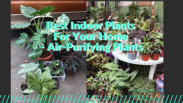 Best Indoor Plants For Your Home - Air-Purifying Plants