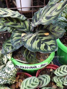 Calathea Makoyana_Best Indoor Plants For Your Home