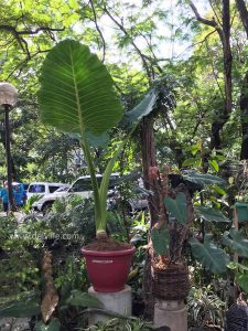 Elephant ear Philodendron_Best Indoor Plants For Your Home