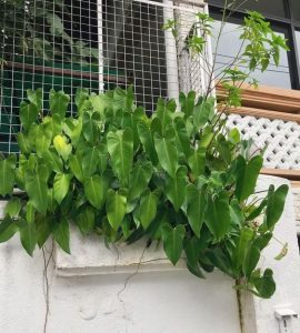 Heartshape Philodendron_ Best Indoor Plants For Your Home