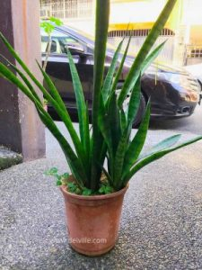 Snake plant - Sansevieria bacularis_Best Indoor Plants For Your Home