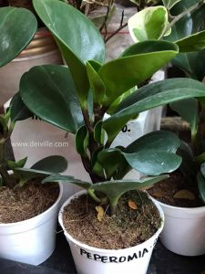 peperomia_Best Indoor Plants For Your Home