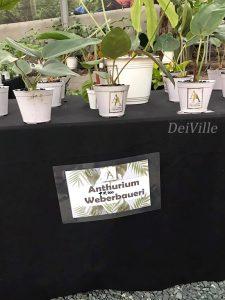 Anthurium Weberbaueri _Arid and Aroids Living Gallery Plant Tour