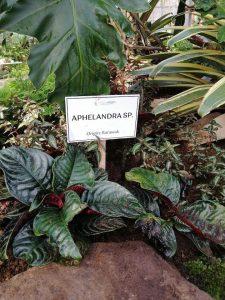 Aphelandra SP Arid and Aroids 1M Rare Plant and Premium Plants