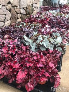 Begonia_Arid and Aroids Living Gallery Plant Tour