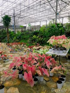 Caladiums_Arid and Aroids Living Gallery Plant Tour