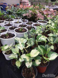 Manjula Pothos Epipremnum Areum Manjula_Arid and Aroids Living Gallery Plant Tour
