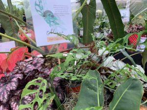Monstera Obliqua_Baguio City_Arid and Aroids Living Gallery Plant Tour