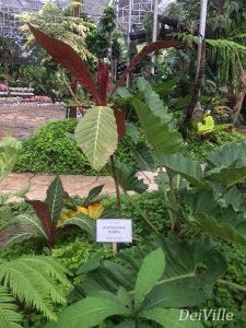 Pentagonia Rubra_Arid and Aroids Living Gallery Plant Tour