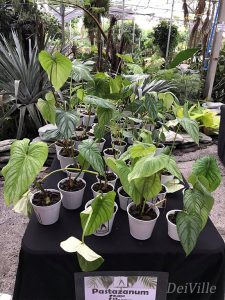 Philodendron Pastazanum Silver_Arid and Aroids Living Gallery Plant Tour