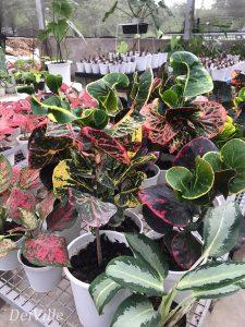 Tropical Croton Plant San Francisco_Arid and Aroids Living Gallery Plant Tour