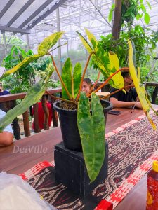 Variegated Philodendron_Arid and Aroids Living Gallery Plant Tour