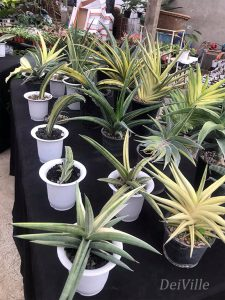 Variegated Sansevieria 01_Arid and Aroids Living Gallery Plant Tour